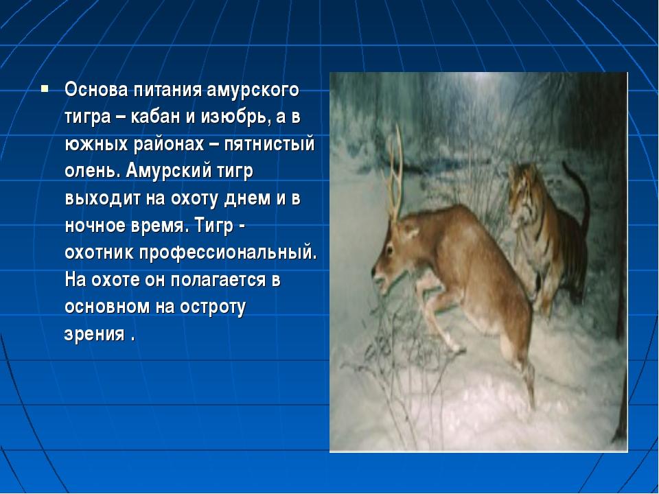 Основа питания амурского тигра – кабан и изюбрь, а в южных районах – пятнисты...