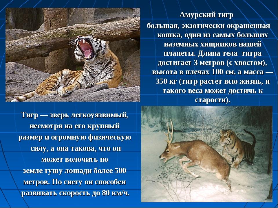 Амурский тигр большая, экзотически окрашенная кошка, один из самых больших на...