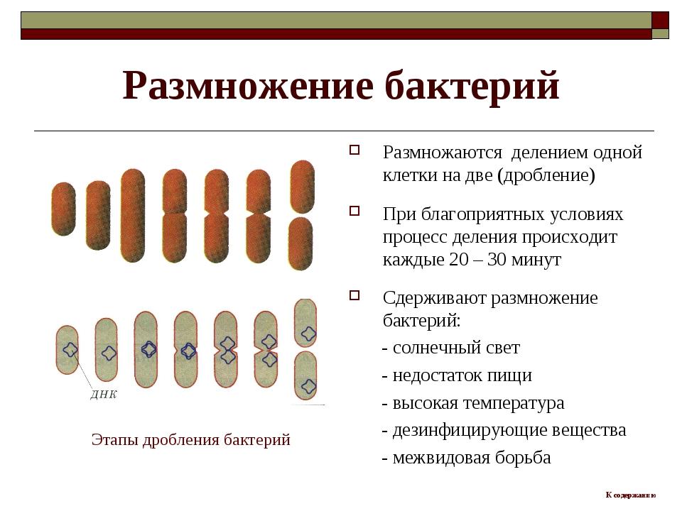 Размножение бактерий Размножаются делением одной клетки на две (дробление) Пр...