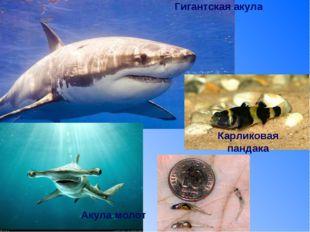 Гигантская акула Акула молот Карликовая пандака