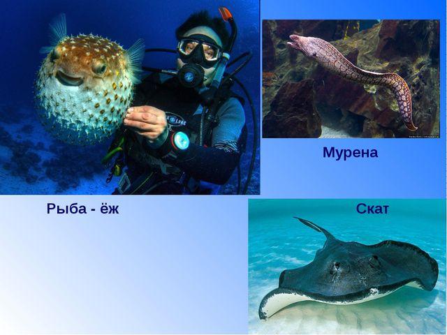 Рыба - ёж Скат Мурена