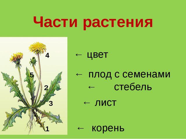 Части растения 4 ← цвет 3 ← лист 1 ← корень 2 ← стебель 5 ← плод с семенами