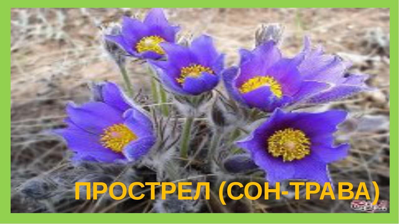 ПРОСТРЕЛ (СОН-ТРАВА)