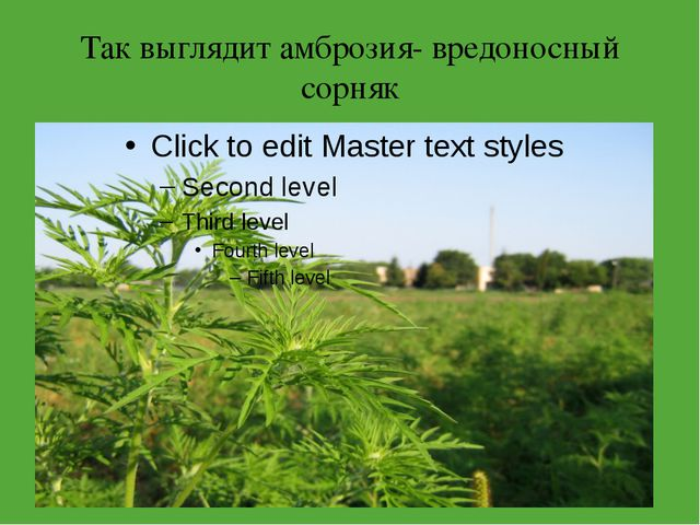 Так выглядит амброзия- вредоносный сорняк