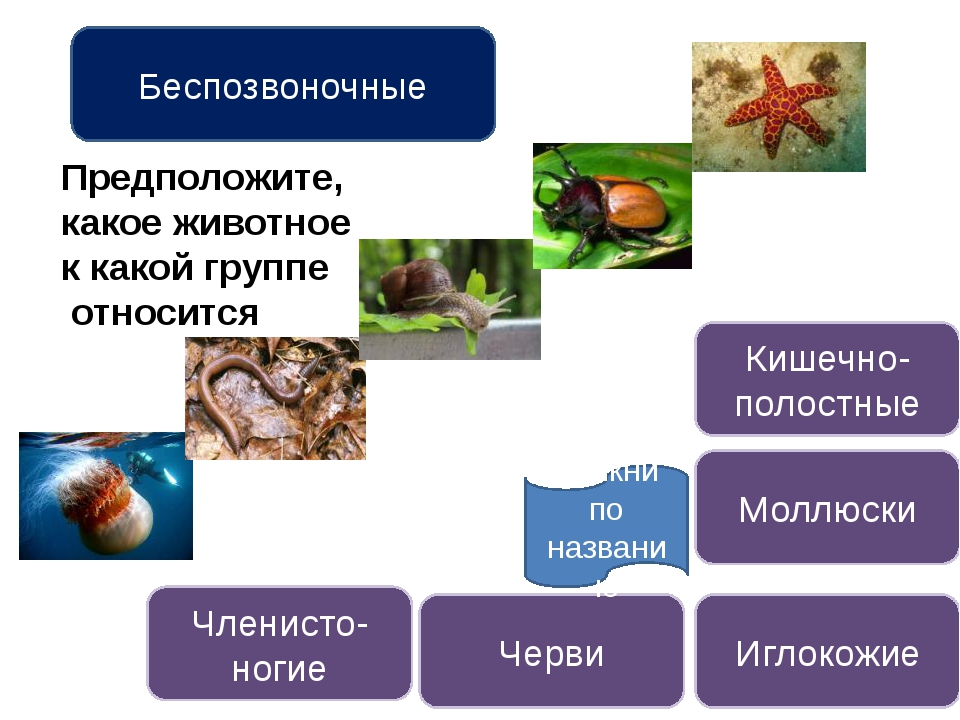 Кишечнополостные животные Назови кишечнополостных Строение кишечнополостных...