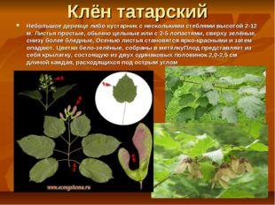 Клён татарский Небольшое деревце либо кустарник с несколькими стеблями высото