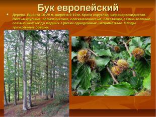 Бук европейский Дерево. Высота16-20 м, ширина 8-10 м. Крона округлая, широко