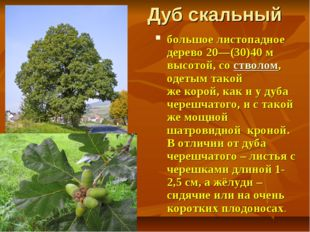 Дуб скальный большое листопадное дерево 20—(30)40м высотой, состволом, одет