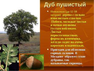 Дуб пушистый Невысокое (до 12-18 метров) дерево с сильно извилистым стволом.