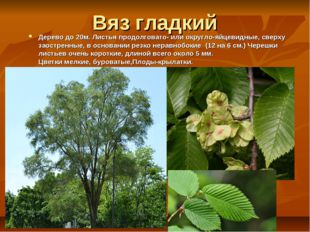 Вяз гладкий Дерево до 20м. Листья продолговато- или округло-яйцевидные, сверх