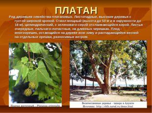 ПЛАТАН Род деревьев семейства платановых. Листопадные, высокие деревья с густ