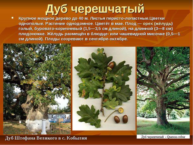 Дуб черешчатый Крупное мощное дерево до 40 м. Листья перисто-лопастные.Цветки...
