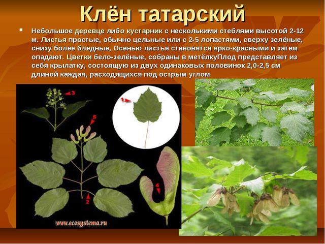 Клён татарский Небольшое деревце либо кустарник с несколькими стеблями высото...