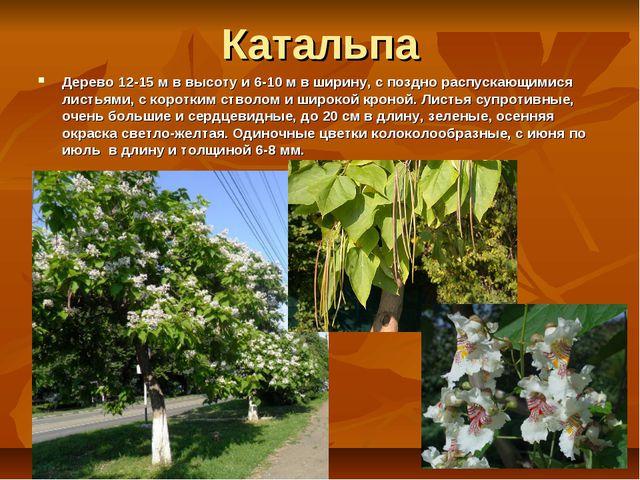 Катальпа Дерево 12-15 м в высоту и 6-10 м в ширину, с поздно распускающимися...