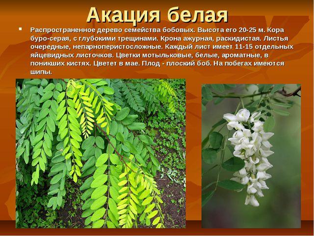 Акация белая Распространенное дерево семейства бобовых. Высота его 20-25 м. К...