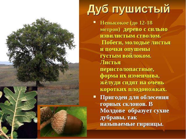 Дуб пушистый Невысокое (до 12-18 метров) дерево с сильно извилистым стволом....