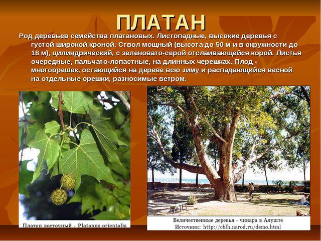 ПЛАТАН Род деревьев семейства платановых. Листопадные, высокие деревья с густ...