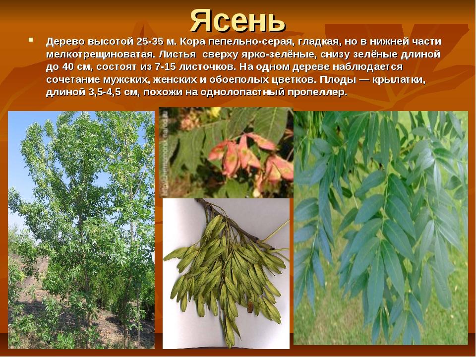 Ясень Дерево высотой 25-35 м. Кора пепельно-серая, гладкая, но в нижней части...