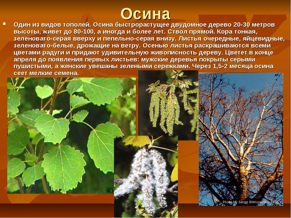 Осина Один из видов тополей. Осина быстрорастущее двудомное дерево 20-30 метр...