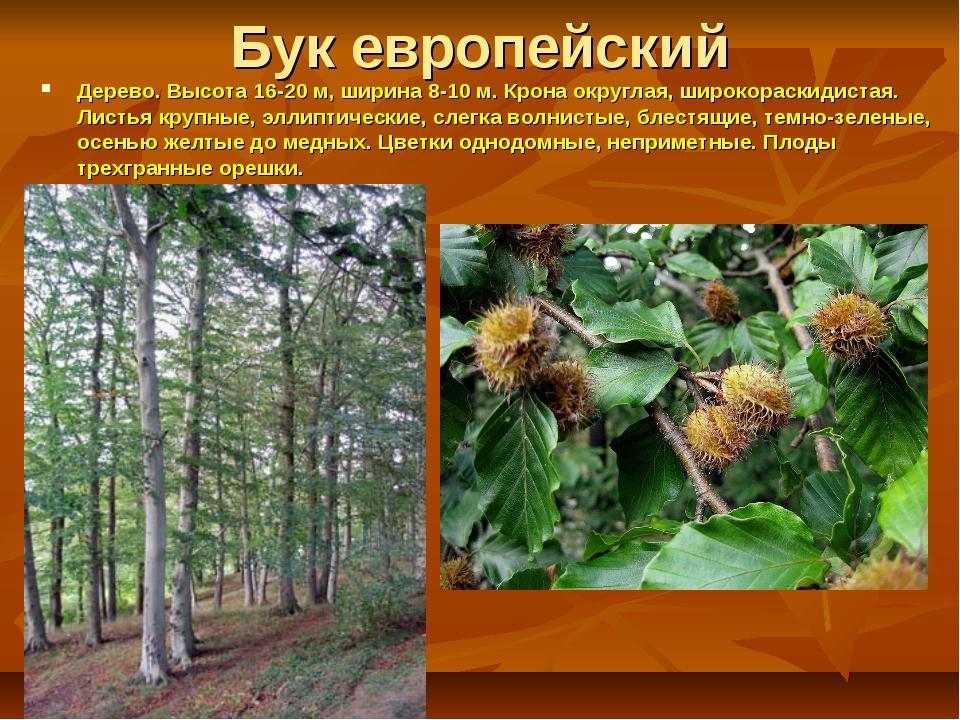 Бук европейский Дерево. Высота16-20 м, ширина 8-10 м. Крона округлая, широко...