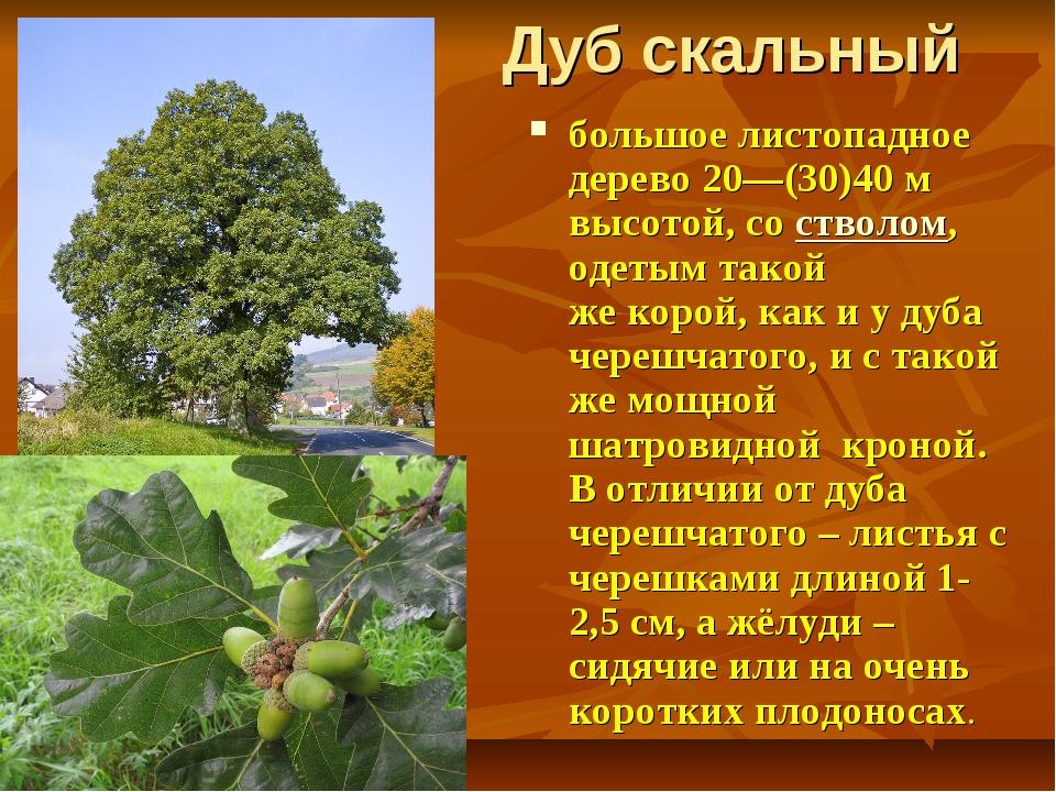 Дуб скальный большое листопадное дерево 20—(30)40м высотой, состволом, одет...