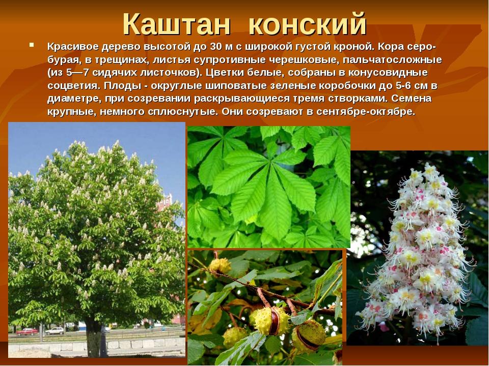 Каштан конский Красивое дерево высотой до 30 м с широкой густой кроной. Кора...
