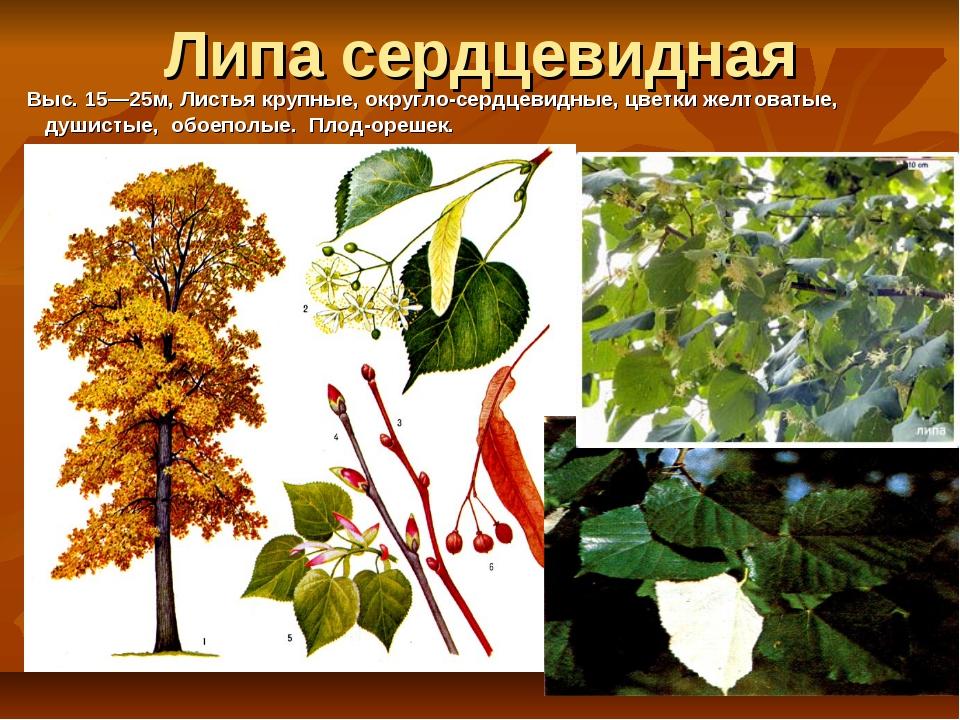 Липа сердцевидная Выc. 15—25м, Листья крупные, округло-сердцевидные, цветки ж...