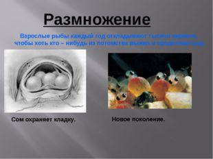 Размножение Сом охраняет кладку. Взрослые рыбы каждый год откладывают тысячи
