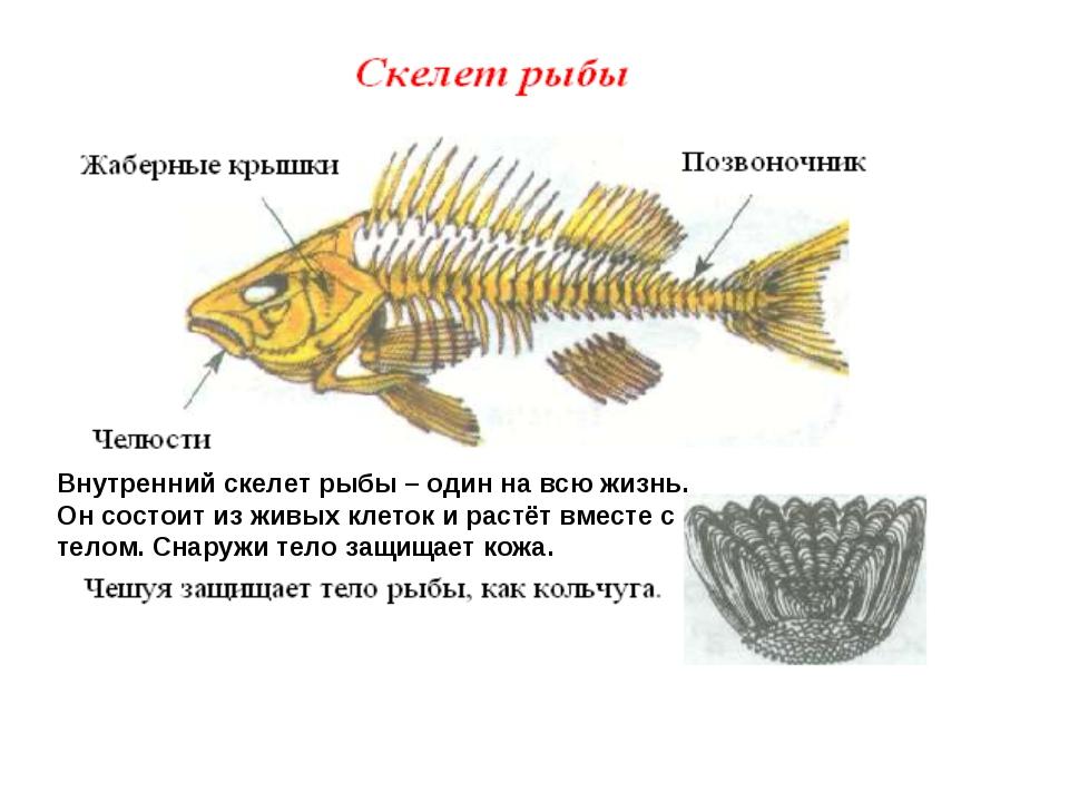Внутренний скелет рыбы – один на всю жизнь. Он состоит из живых клеток и раст...