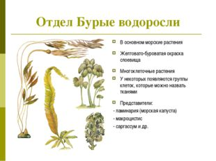 Отдел Бурые водоросли В основном морские растения Желтовато-буроватая окраска