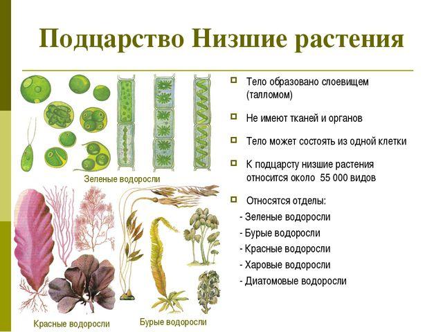 Подцарство Низшие растения Тело образовано слоевищем (талломом) Не имеют ткан...