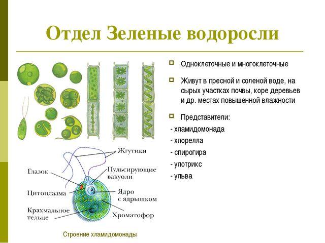 Отдел Зеленые водоросли Одноклеточные и многоклеточные Живут в пресной и соле...