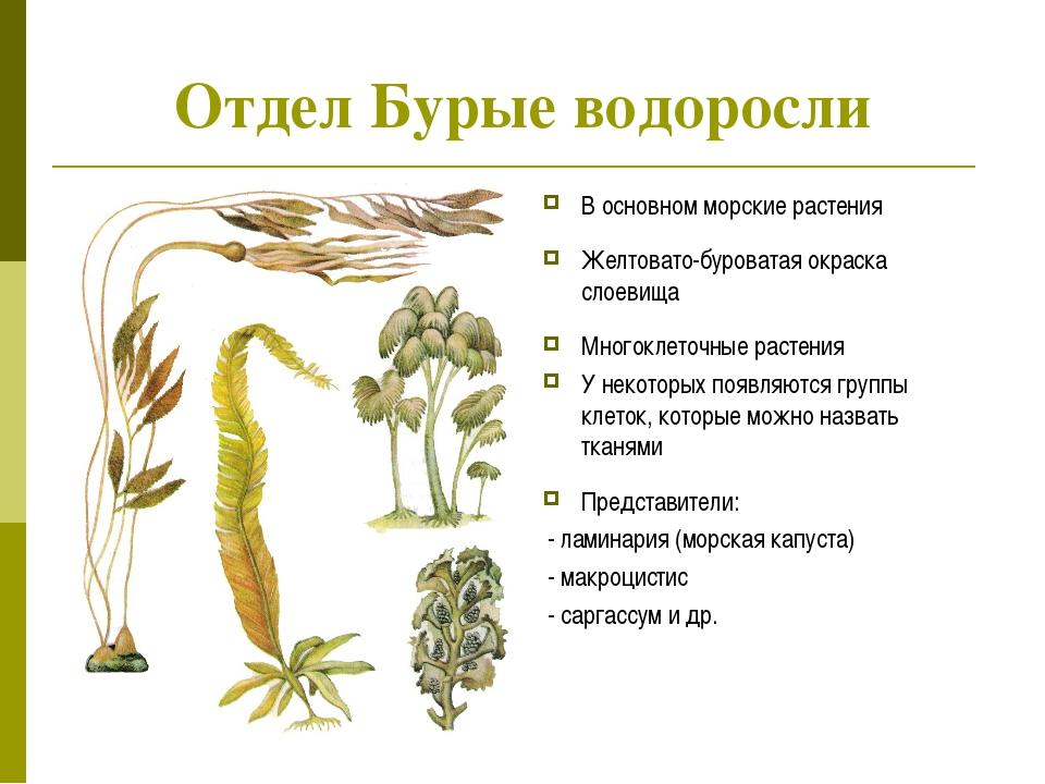 Отдел Бурые водоросли В основном морские растения Желтовато-буроватая окраска...