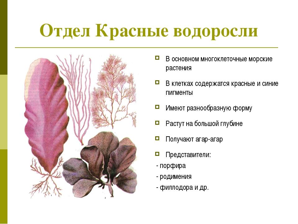 Отдел Красные водоросли В основном многоклеточные морские растения В клетках...