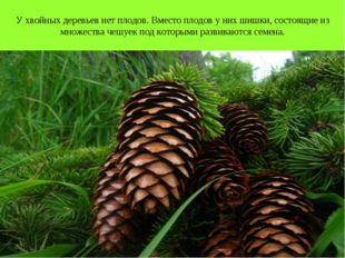 У хвойных деревьев нет плодов. Вместо плодов у них шишки, состоящие из множес