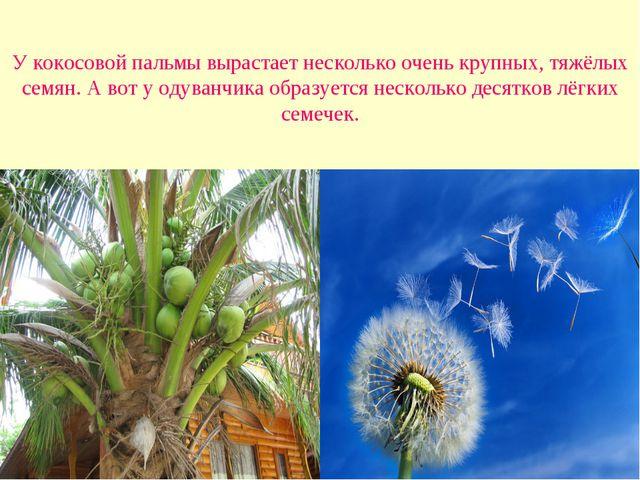 У кокосовой пальмы вырастает несколько очень крупных, тяжёлых семян. А вот у...