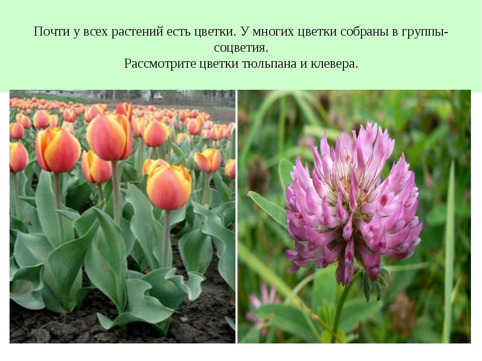 Почти у всех растений есть цветки. У многих цветки собраны в группы- соцветия...