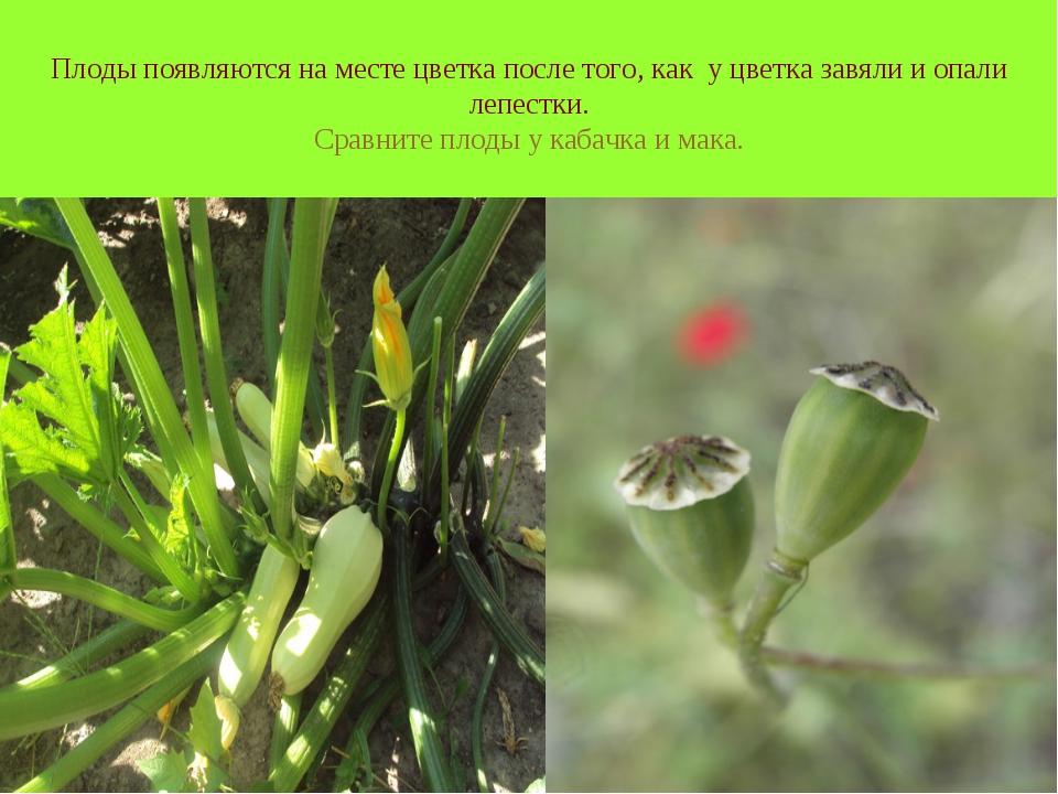 Плоды появляются на месте цветка после того, как у цветка завяли и опали лепе...