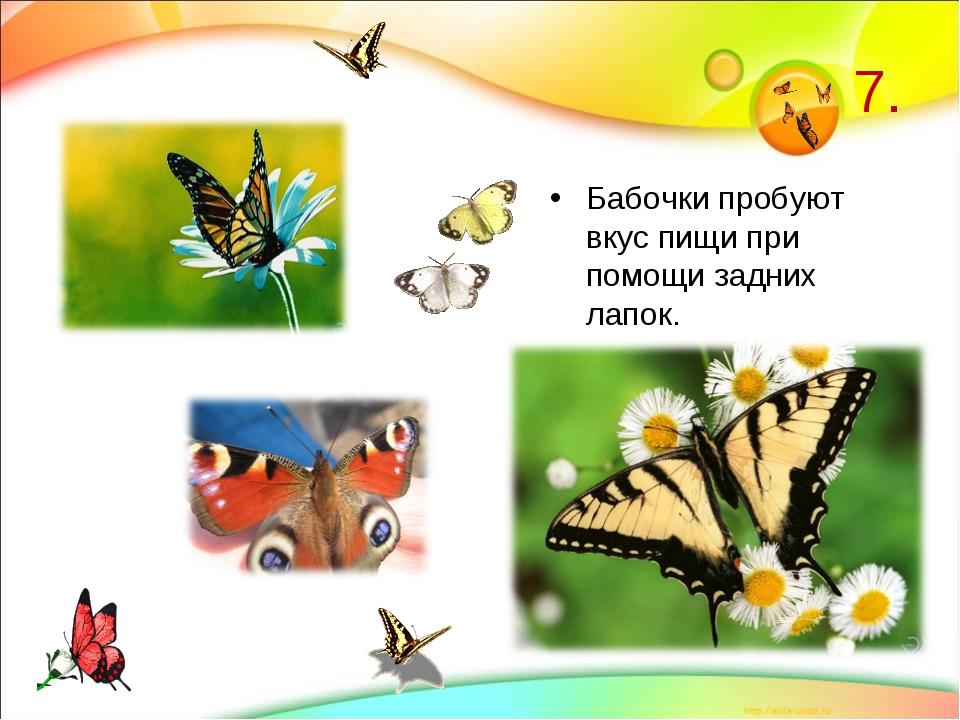 7. Бабочки пробуют вкус пищи при помощи задних лапок.