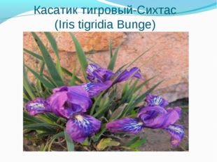 Касатик тигровый-Сихтас (Iris tigridia Bunge)