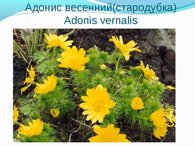 Адонис весенний(стародубка) Adonis vernalis