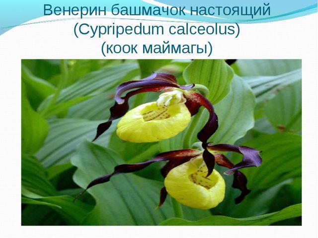 Венерин башмачок настоящий (Cypripedum calceolus) (коок маймагы)