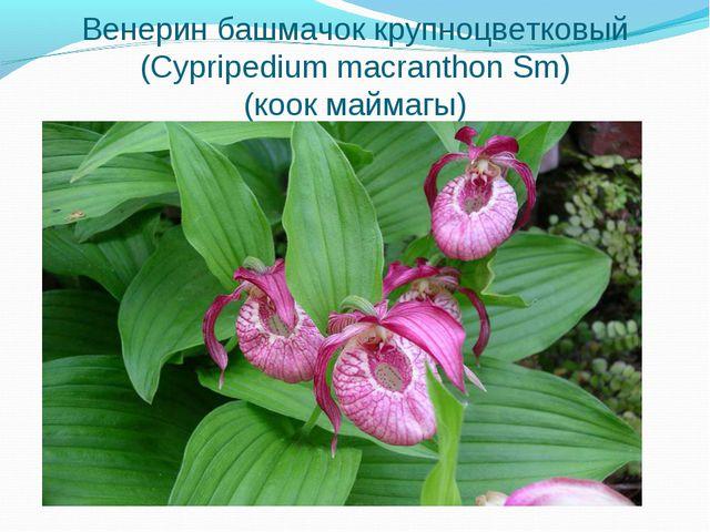 Венерин башмачок крупноцветковый (Cypripedium macranthon Sm) (коок маймагы)