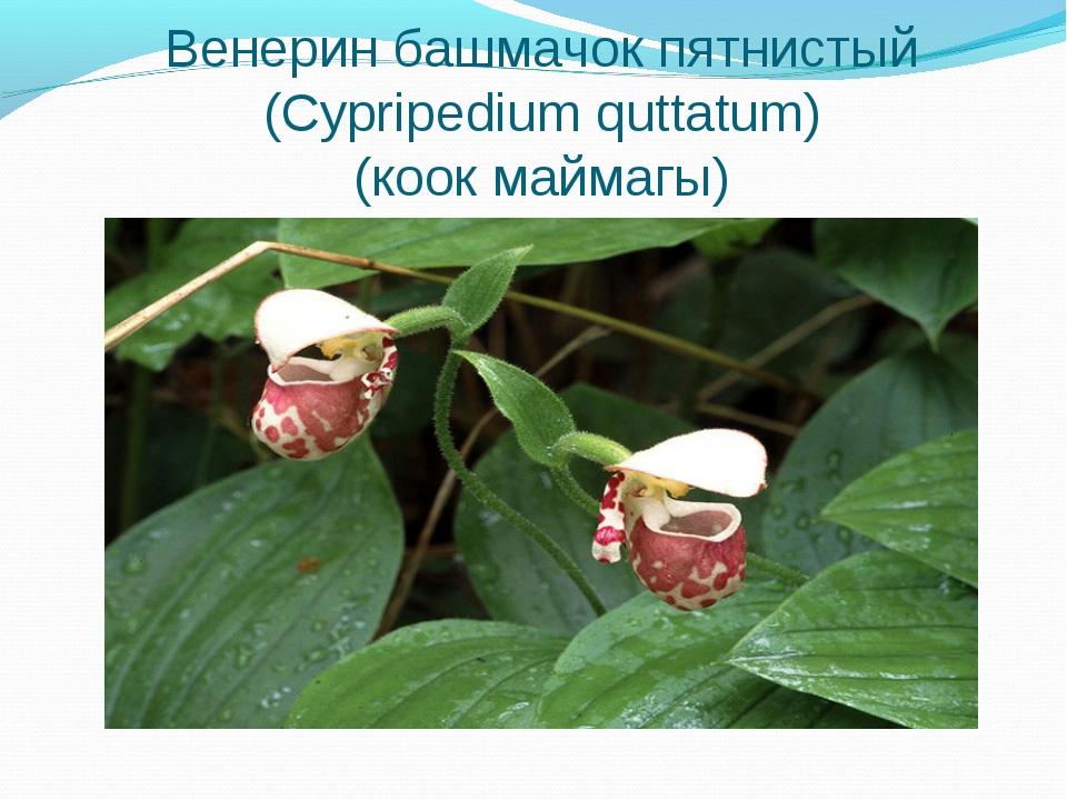 Венерин башмачок пятнистый (Cypripedium quttatum) (коок маймагы)