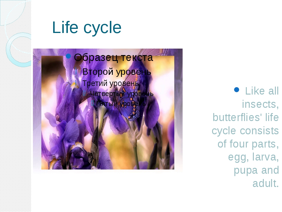 Life cycle  Like all insects, butterflies' life cycle consists of four parts...