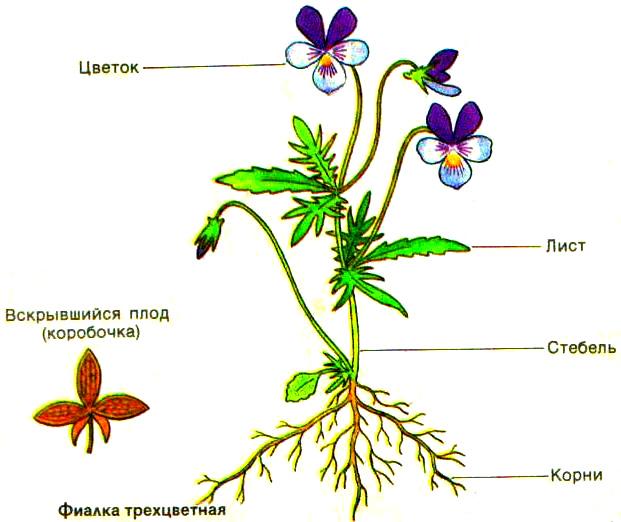 http://netnado.ru/laboratornaya-rabota--organi-cvetkovogo-rasteniya/26100_html_5a8b5836.jpg