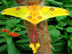 А найдовший метелик у світі мешкає на Мадагаскарі