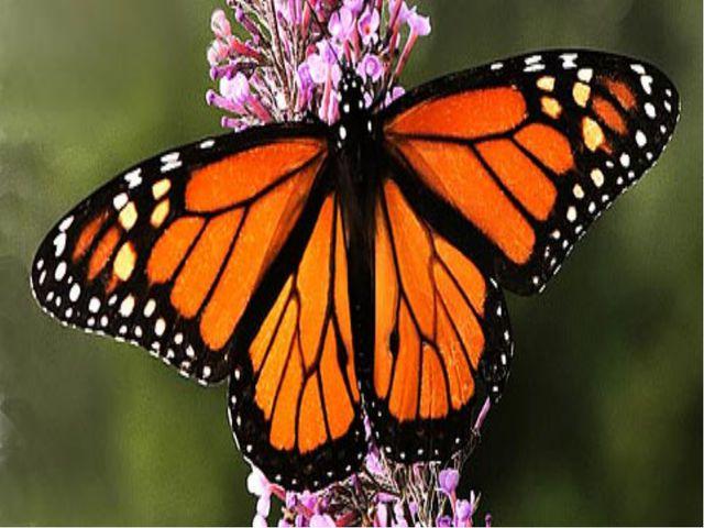 Найвитриваліший метелик у світі махаон. Він може пролетіти відстань у тисячу...