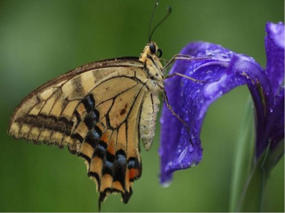 Найдивовижніше у метеликів – це очі. Вони складаються з 6 тисяч частинок.