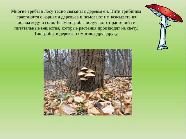 Многие грибы в лесу тесно связаны с деревьями. Нити грибницы срастаются с кор...